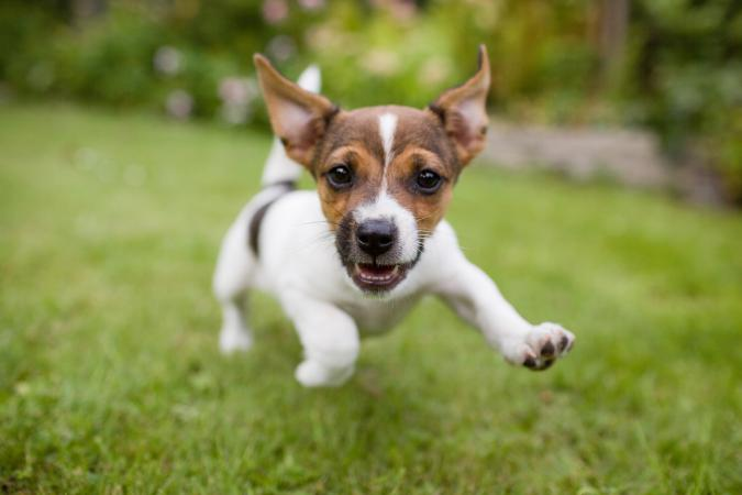 happy Jack Russell Terrier puppy