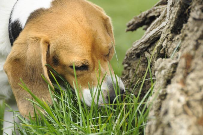 Dog Eats Grass