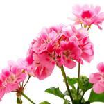 Geranium (Pelargonium spp)
