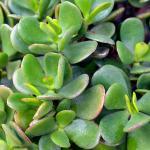 Jade (Crassula arborescens)