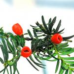 American Yew (Taxus canidensus)