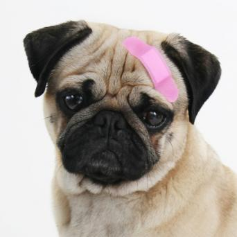 Pug dog with band-aid