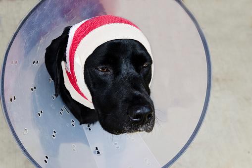 Dog with head bandaged