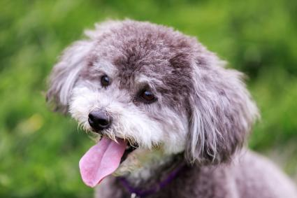 Guide To The Schnoodle Dog Breed Lovetoknow