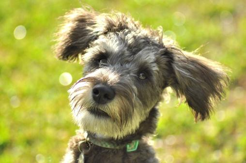 Gray schnoodle dog