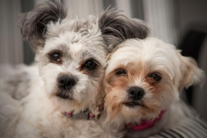Portrait of two Maltese Shih Tzu