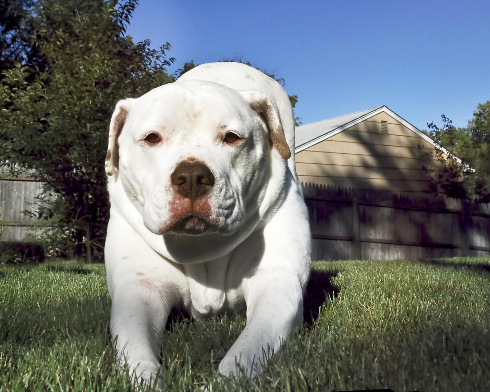 American Bulldog Facts And Photos Lovetoknow