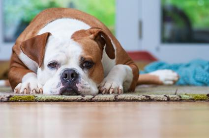 American Bulldog laying down at home