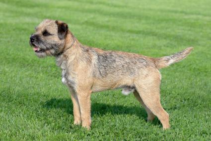 border terrier dog