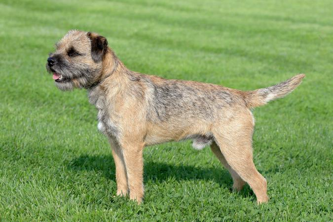 border terriers what you need to know lovetoknow