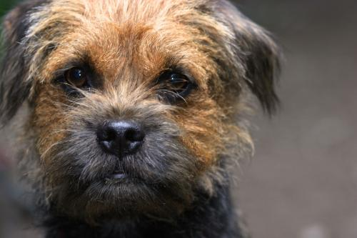 closeup border terrier dog face