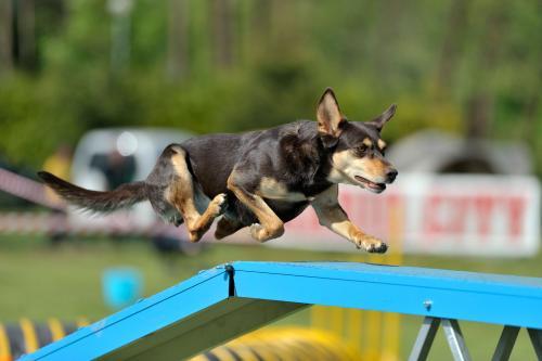 Australian Kelpie on agility course