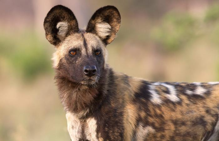 African wild dog looking in the distance