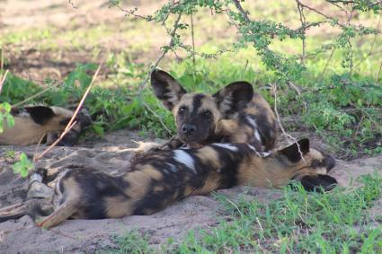 Colorful patches and stripes on wild dogs
