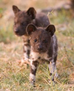 Cute African wild dog puppies