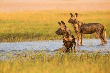 African wild dogs in the water