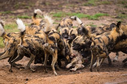 African wild dogs hunting and eating
