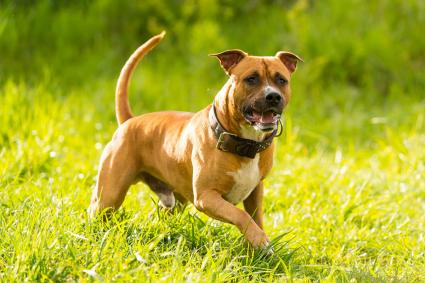 American Staffordshire Terrier dog playing in grass