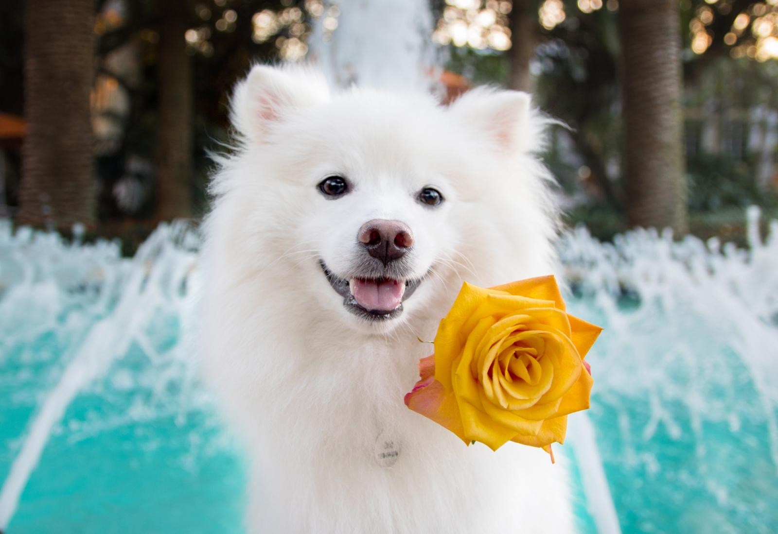 Mini American Eskimo Dog with flower