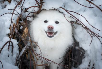 American Eskimo Dog playing in snow