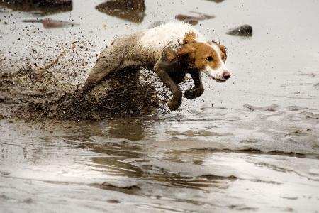 Cocker spaniel running in water