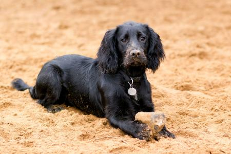 Black Cocker Spaniel