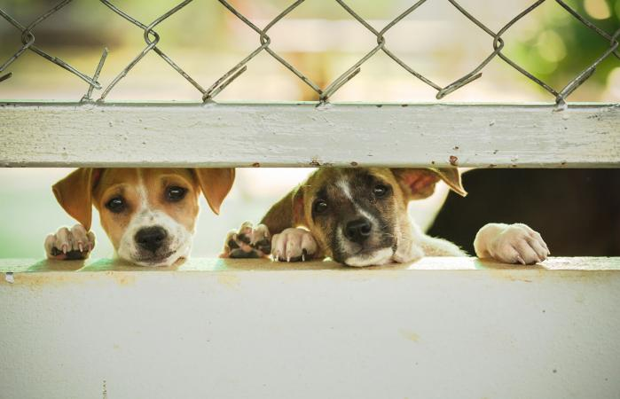 Puppies peeking from behind a fence