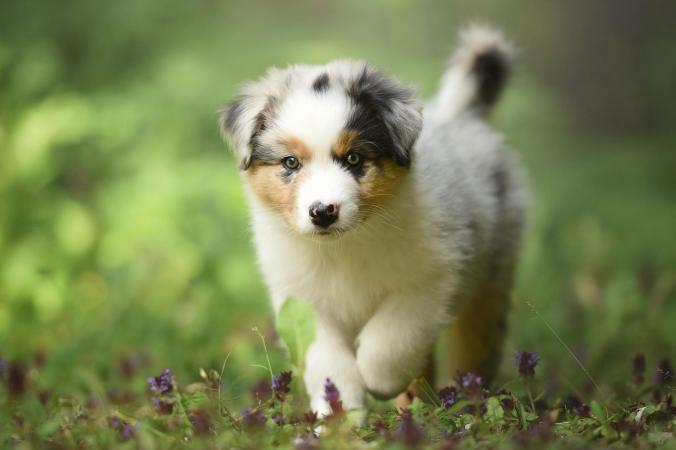 Australian Shepherd pup