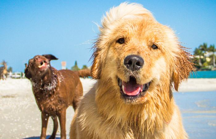 Two golden retriever dogs on beach