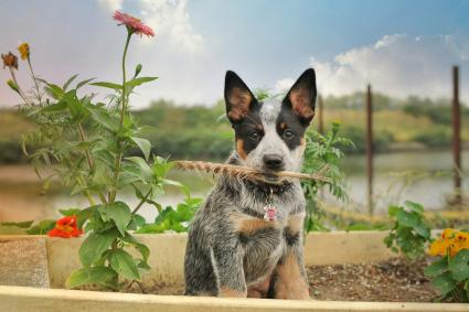 Australian Cattle Dog posing