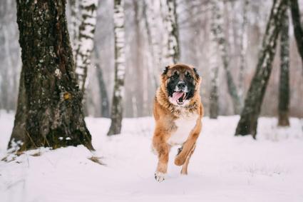 Caucasian shepherd dog running in snow
