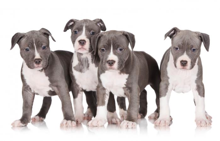 Litter of blue american pitbull terrier puppies