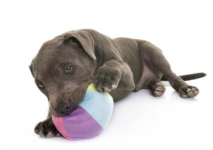 Blue Pit Bull Puppies | LoveToKnow