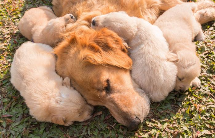 mother dog and puppies sleeping