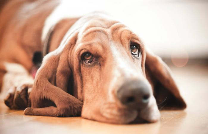 Basset hound crying