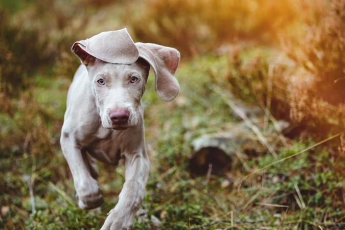 Weimaraner puppy running outside