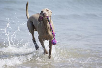 Weimaraner carrying toy at beach
