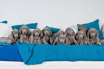Eleven Weimaraner puppies in a row