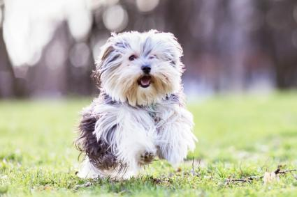 Morkie Puppies Facts And Videos