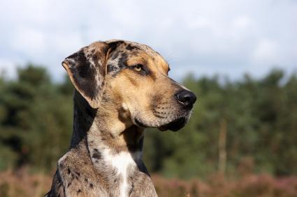 Catahoula in profile