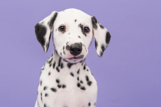 Close-up portrait of dalmatian puppy