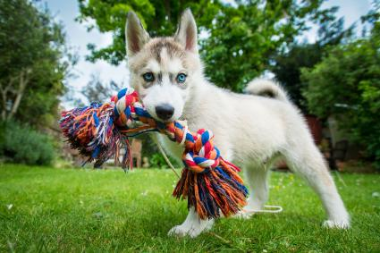 Husky puppy with toy in mouth