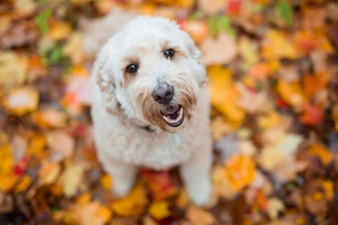 Goldendoodle dog sitting for portrait