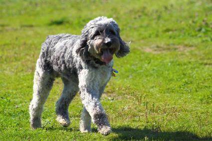 Aussie Doodle is Australian Shepherd Poodle