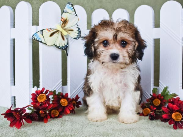 Cute Cavachon puppy sitting for portrait