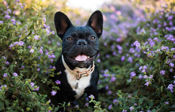 Happy French Bulldog