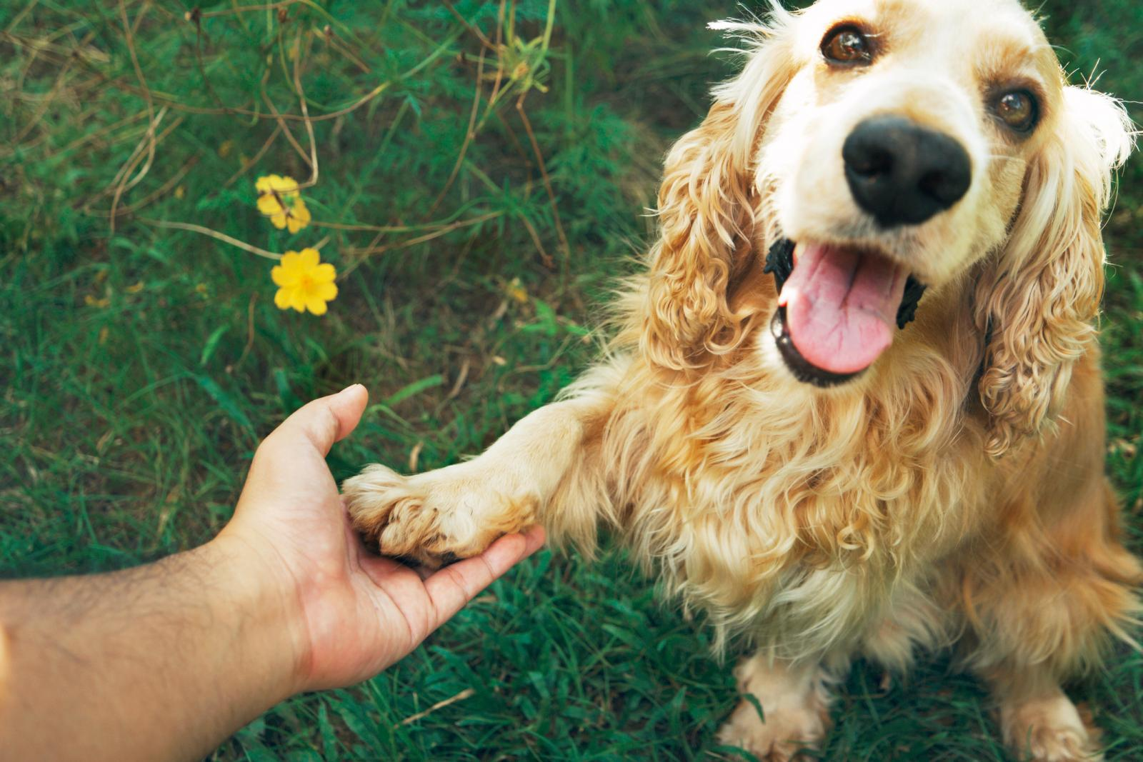 Close-Up Of Hand Holding a Cocker Spaniel