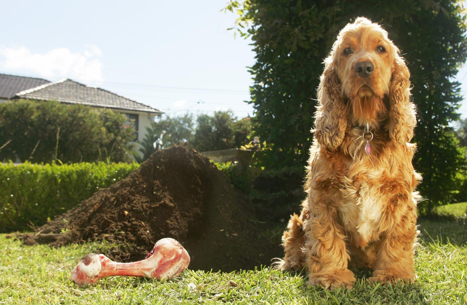 Cockerspaniel and Bone Beside Large Dug Hole