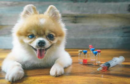 Pomeranian dog sitting on floor