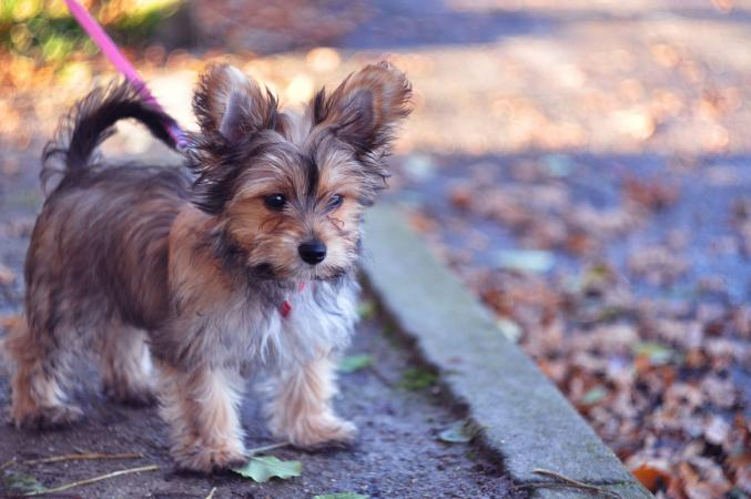 Chorkie puppy on walk outside